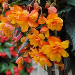 Begonia cascade oranje