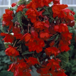 Begonia cascade rood