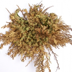 Selaginella lepidophylla