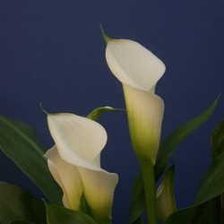 Zantedeschia 'Crystal Blush'
