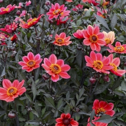 Dahlia 'Happy Days Red Flame'