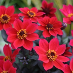 Dahlia 'Happy Days Cherry Red'