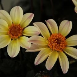 Dahlia 'Happy Days Lemon'