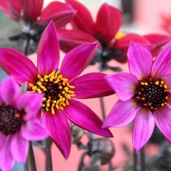 Dahlia 'Happy Days Purple'