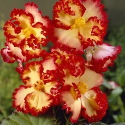 Begonia 'Crispa Marginata 1'