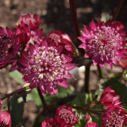 Astrantia major 'Abbey Road'