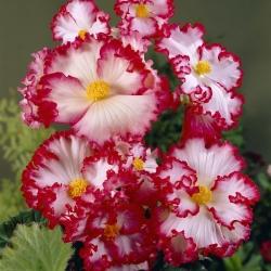Begonia 'Crispa Marginata 2'