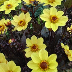 Dahlia 'Happy Single Party'