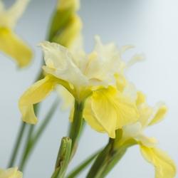 Iris sibirica 'Moon Silk'