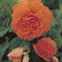 Begonia fimbriata oranje