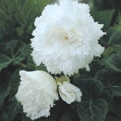 Begonia fimbriata wit