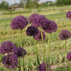 Allium altissimum 'Goliath'