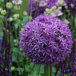 Allium 'Globemaster'®