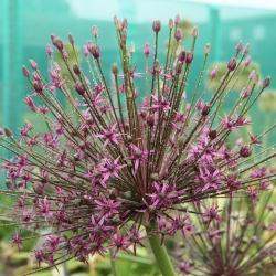Allium 'Toabago'®