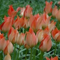 Tulipa batalinii 'Salmon Gem'