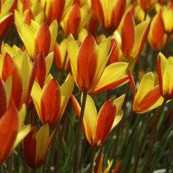 Tulipa clusiana var...