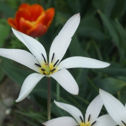 Tulipa clusiana var. stellata