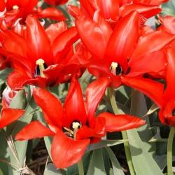 Tulipa ingens