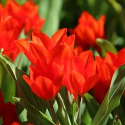 Tulipa praestans 'Fusilier'