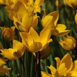 Tulipa sylvestris...