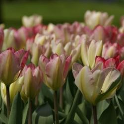 Tulipa 'Flaming Purissima'